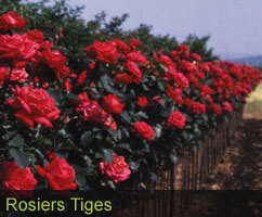 Rosiers Tiges