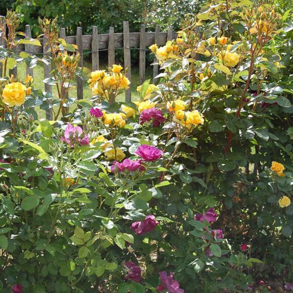 Rosier arbuste pour vos haies vives
