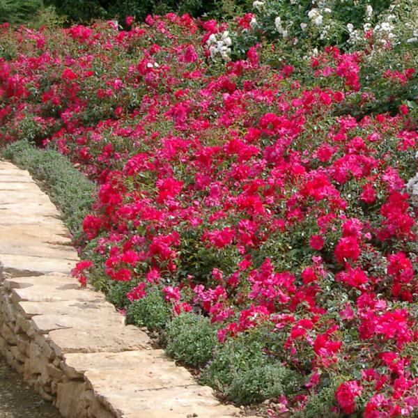 Rosier pour vos tapis fleuris